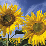 Common Sunflower Field Poster