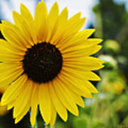 Common Sunflower Poster