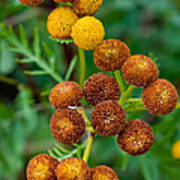 Common Tansy At The End Of Life Poster
