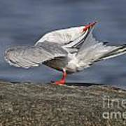 Common Tern Pictures 51 Poster