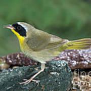 Common Yellowthroat Geothlypis Trichas Poster
