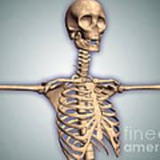 Conceptual Image Of Human Rib Cage Poster