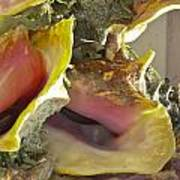 Conch Shells Poster