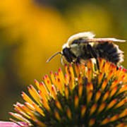 Cone Flower And Bee Poster