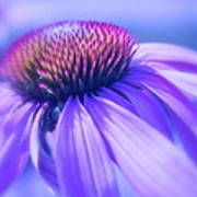 Cone Flower In Pastels  Poster