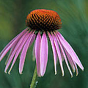 Cone Flower In Vertical Format Poster