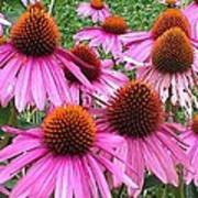 Cone Flowers 2 Poster