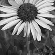 Coneflower And Dusty Miller Bw Poster