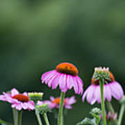 Coneflower Poster by Kay Pickens