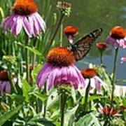 Coneflower With Butterfly Poster