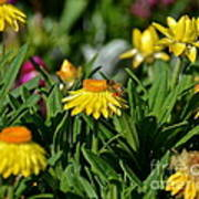 Coneflowers And Friend Poster