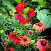 Coneflowers Echinacea Rudbeckia Poster