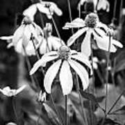 Coneflowers Echinacea Yellow Bw Poster by Rich Franco