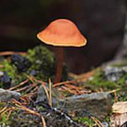 Conical Wax Cap Mushroom Poster
