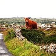Connemara Cow Poster