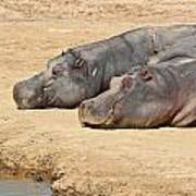 Contented Hippos Poster