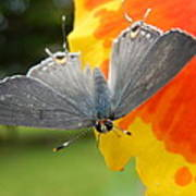 Contrasting Butterfly Poster