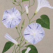 Convolvulus Cneorum Poster by Frances Buckland