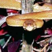 Cook's Tree Boa Poster