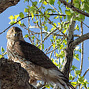 Cooper's Hawk In A Cottonwood Poster
