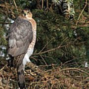 Coopers Hawk In Predator Mode Poster