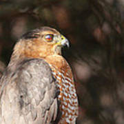 Coopers Hawk In Profile Poster