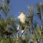 Coopers Hawk In Tree Poster