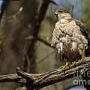 Coopers Hawk Pictures 124 Poster