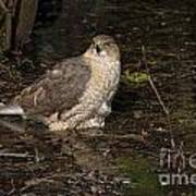 Coopers Hawk Pictures 135 Poster