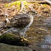 Coopers Hawk Pictures 61 Poster