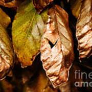 Copper Beech Leaves Poster