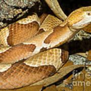 Copperhead Snake Poster