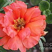 Coral Desert Rose Poster
