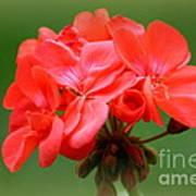 Coral Geraniums Poster