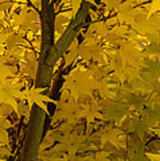 Coral Maple Fall Color Poster