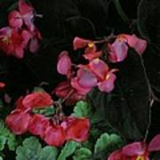 Coral Petals Poster