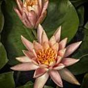 Coral Pink Water Lilies Poster