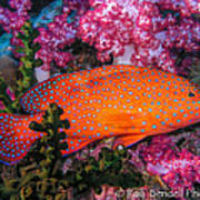 Coral Trout In Similan Islands Poster