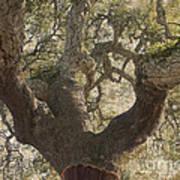 Cork Oak Tree Poster