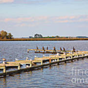 Cormorants And Seagulls On Old Dock Near Blackwater  National Wildlife Refuge Near Cambridge Md Poster