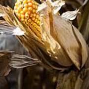 Corn In Husk Poster