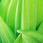 Corn Lily Leaf Detail Yosemite Np California Poster