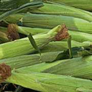 Corn New Jersey Grown  Poster