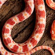 Corn Snake P. Guttatus On Tree Bark Poster