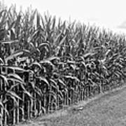 Cornfield Black And White Poster