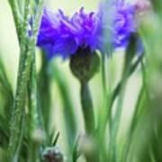 Cornflower (centaurea Cyanus) Poster