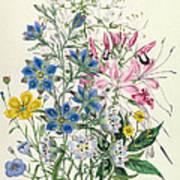 Cornflower Poster