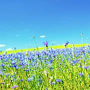 Cornflowers In A Field Poster