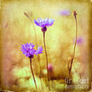 Cornflowers On The Meadow Poster