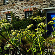 Cornish Cow Parsley  Poster